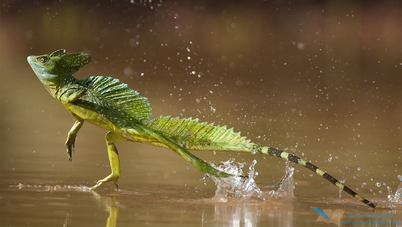 Green / Double-crested basilisk (Basiliscus plumifrons) running across water surface, Santa Rita, Costa Rica